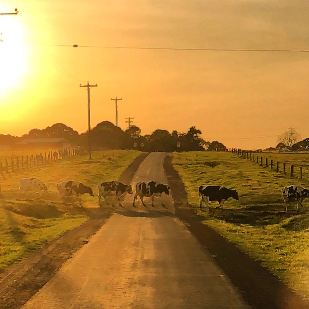 Cows crossing the road at sunrise