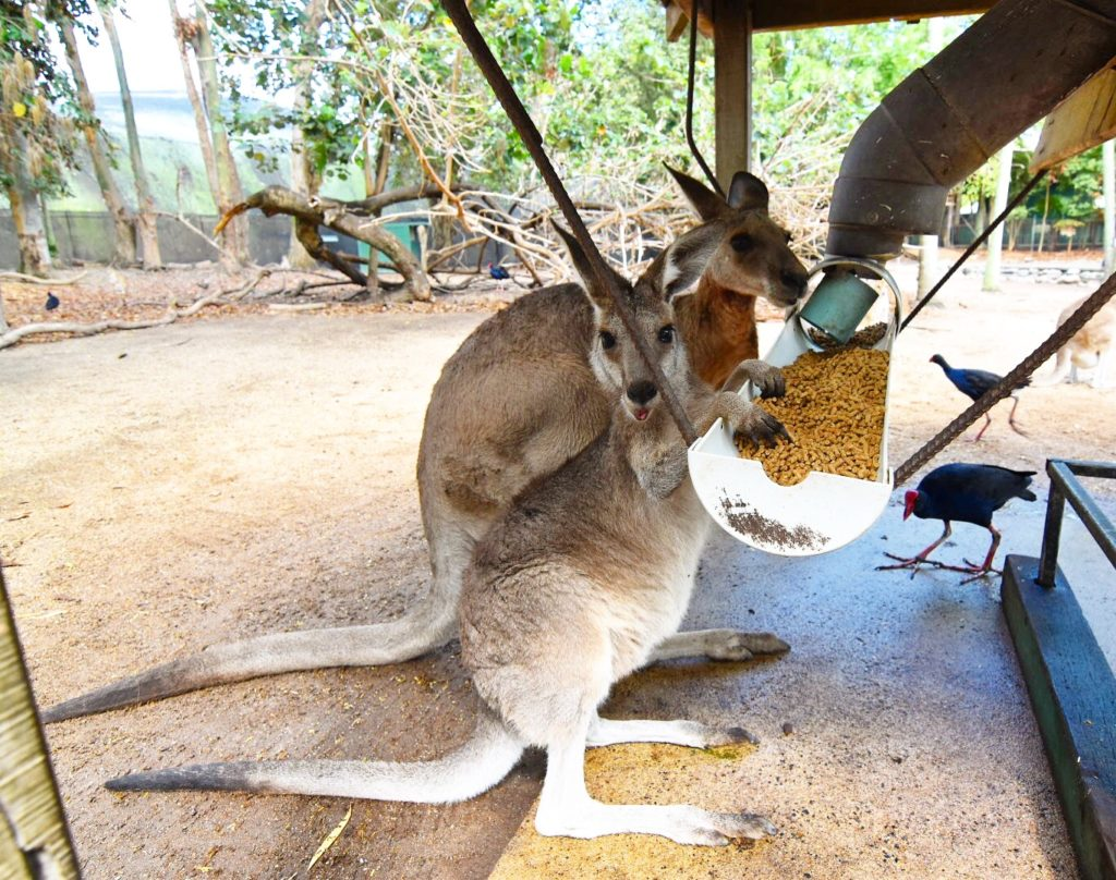 Kangaroos feeding at Wildlife Habitat