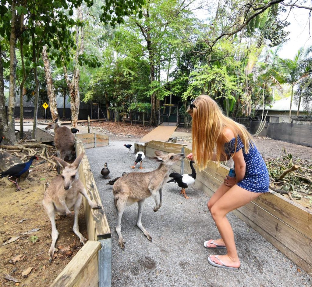 Girl feeding kangaroo surrounded by 3 other kangaroos at Wildlife Habitat Port Douglas