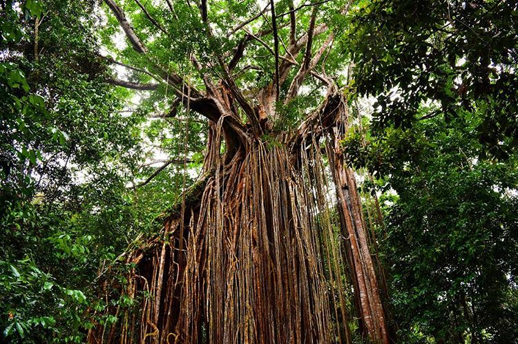 Sarah Latham Curtain Fig Tree Yungaburra Cairns